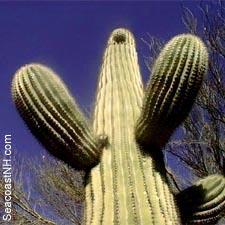 Cactus by J. Dennis Robinson/ SeacoastNH.com
