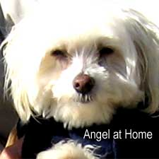 Angel the dog and star of Angel Come Home / SeacoastNH.com