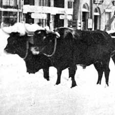 Oxen Plow Portsmouth Streets (c) Strawbery Banke