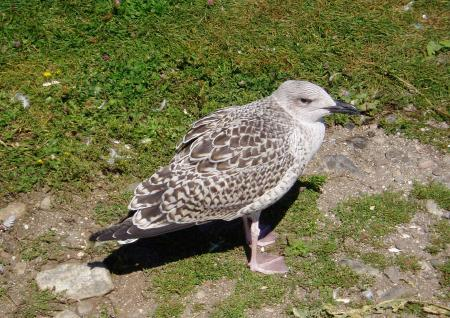 Young gulls have right of way