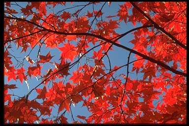 Fall foliage (c) Marianne Pernold-Young