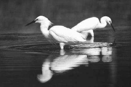 Snowy Egrets (c) H. Lichtman