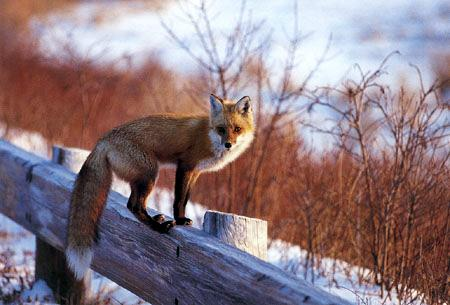 Fox at Plum Islandby Kevin & Susan Psaros