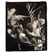 Milkweed (c) Steve Salniker