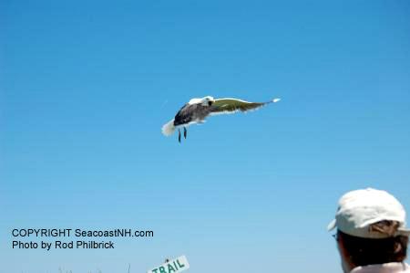 Seagull attacks author (c) SeacoastNH.com, photo by Rodman Philbrick